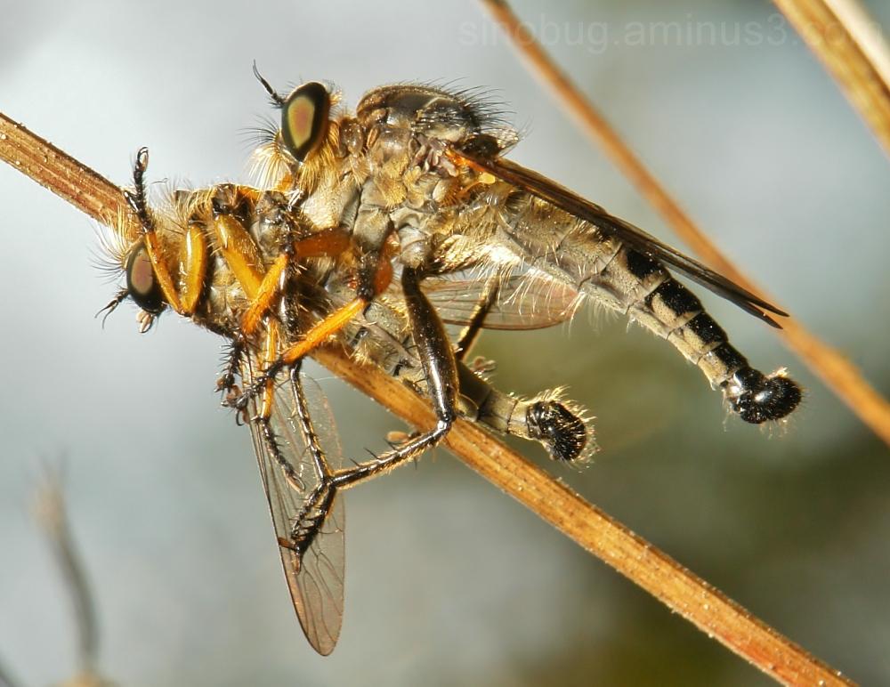 robber fly Diptera Asilidae China