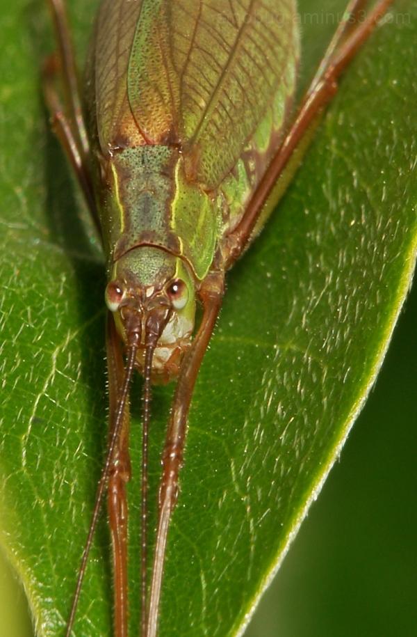 bush cricket katydid China Orthoptera