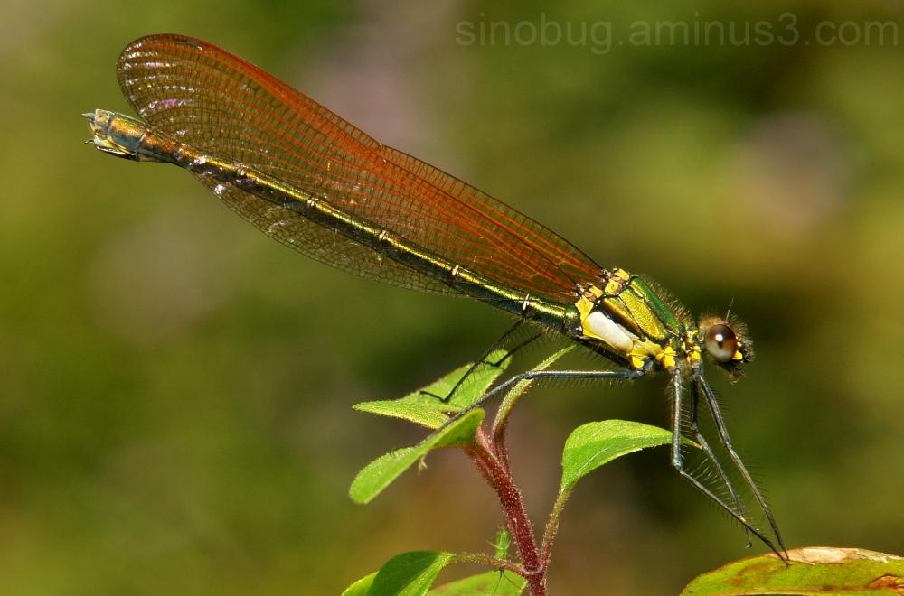 Damselfly Mnais andersoni China Odonata