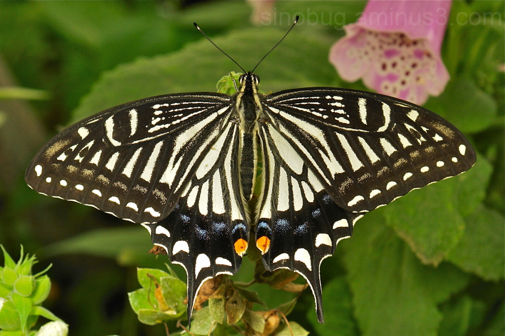 Asian Swallowtail Papilio xuthus butterfly