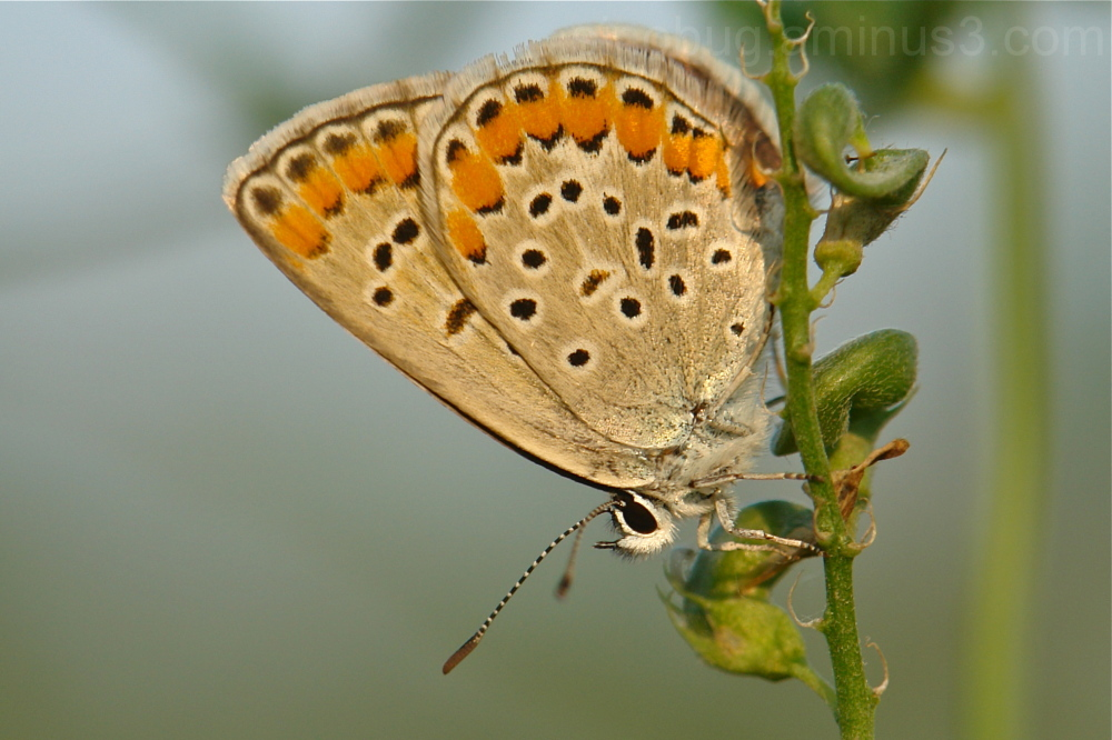 Argus Butterfly Aricia chinensis Lycaenidae China