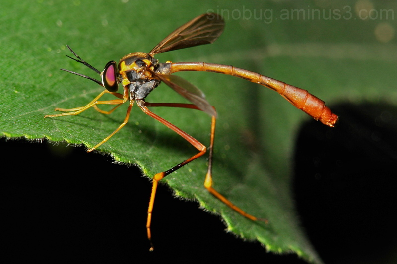 Bee Fly Systropus denticulatus Bombyliidae China