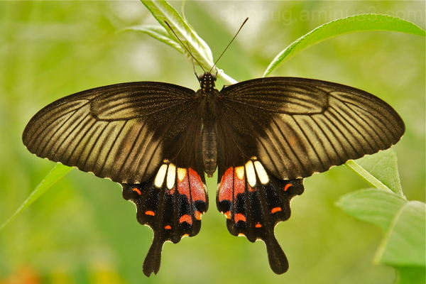 Common Mormon Papilio polytes Papilionidae China