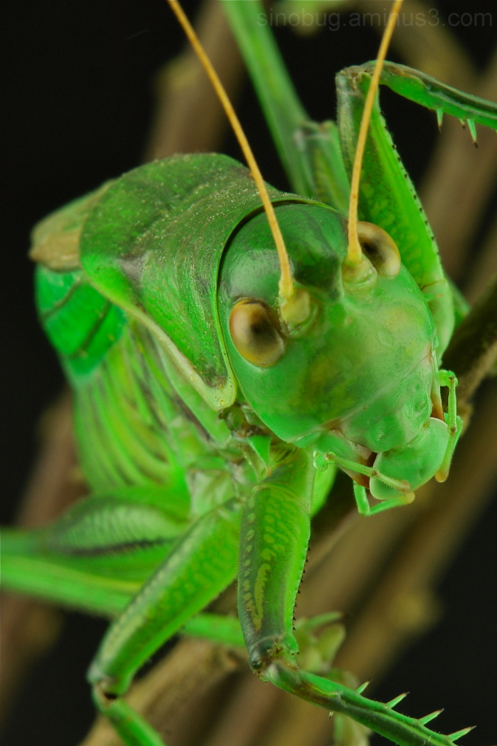 Chinese Bush Cricket Gampsocleis gratiosa katydid
