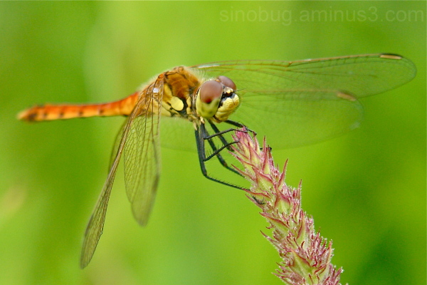 Dragonfly Sympetrum Libellulidae China