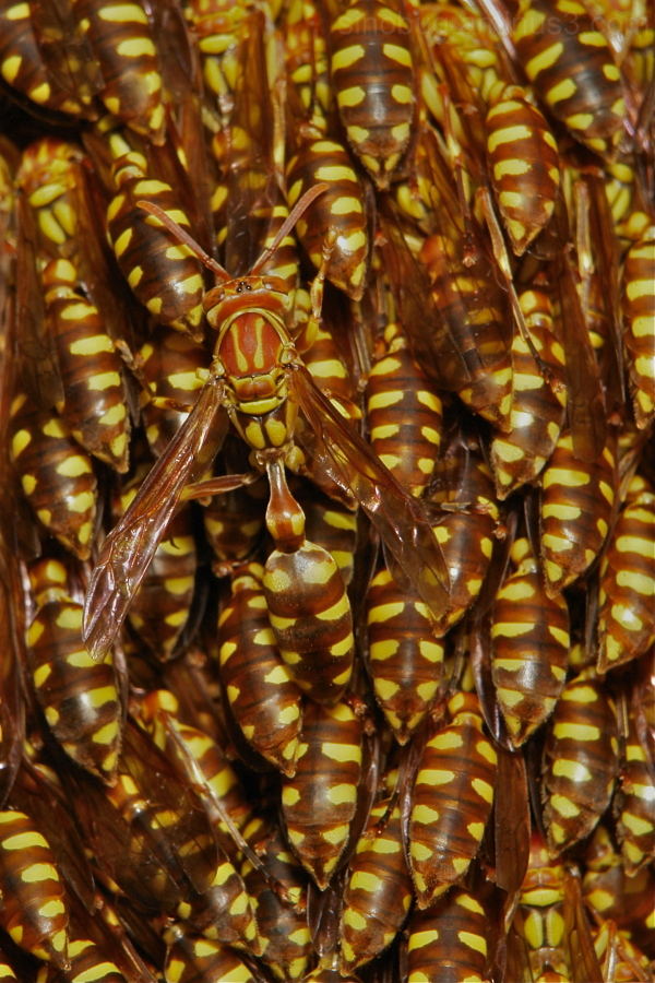Lesser Paper Wasps Parapolybia varia China