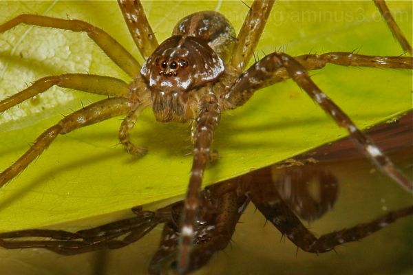 Fishing Spider Dolomedes Pisauridae water China