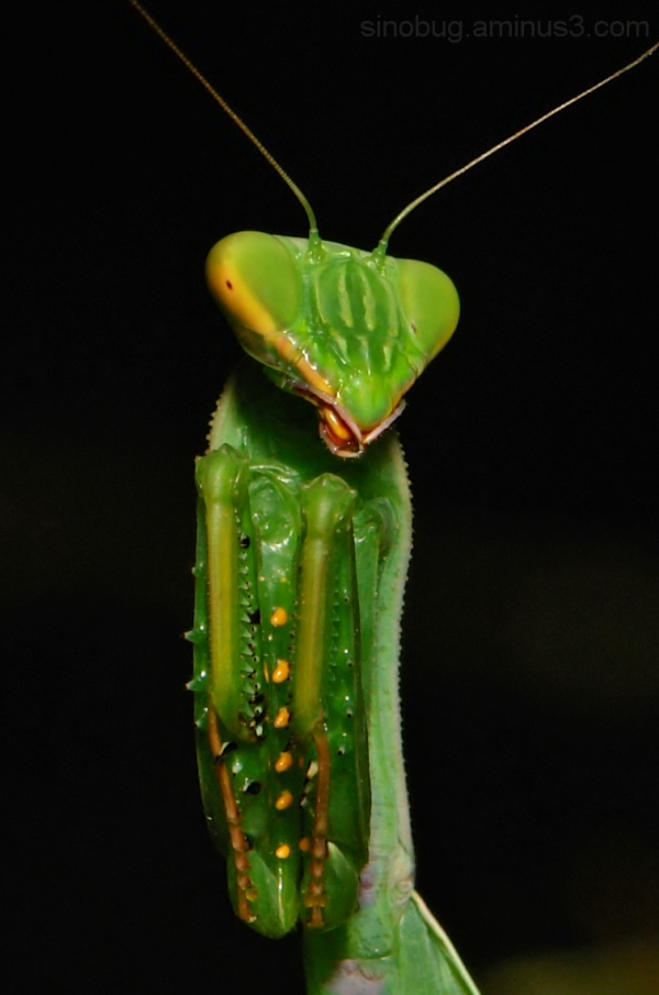 praying mantis green China