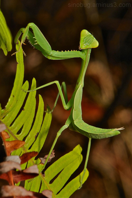 praying mantis green China