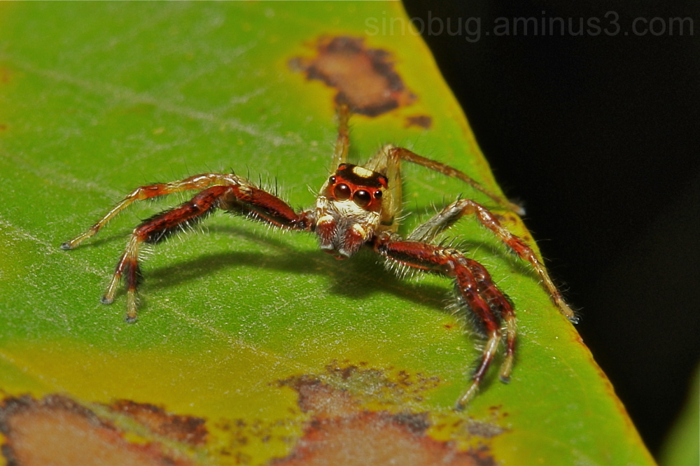 Jumping Spider Epocilla calcarata Salticidae