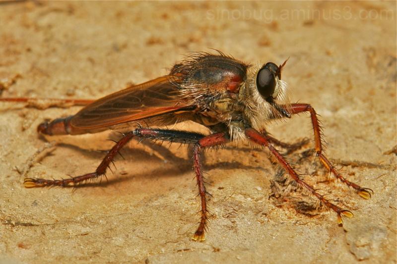 robber fly Asilidae Diptera