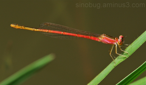 Orange-Tailed Midget Damselfly Agriocnemis femina