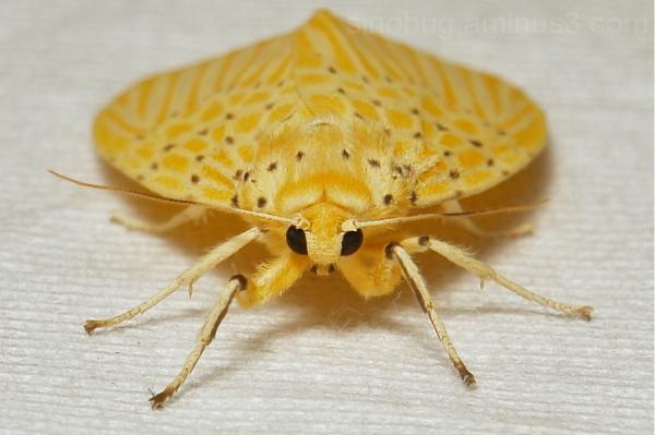 Tiger Moth Arctiidae arctiinae