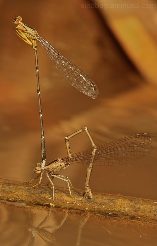 damselfly Odonata China