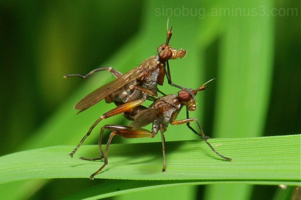 marsh fly Diptera Sciomyzoidea aquatic China
