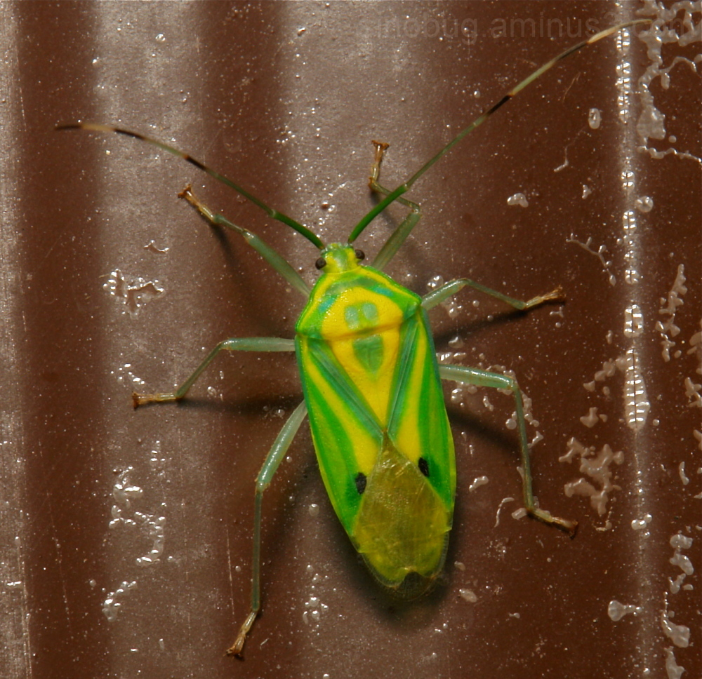 Shield Bug Urostylididae  China Yunnan