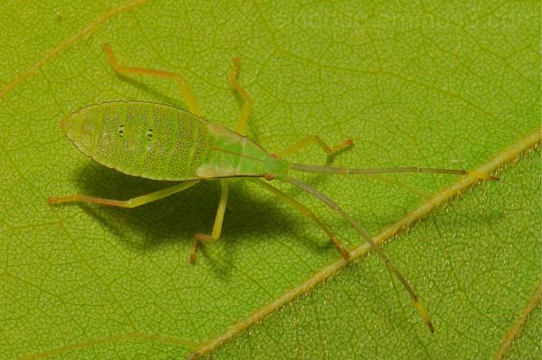 bug Hemiptera nymph China