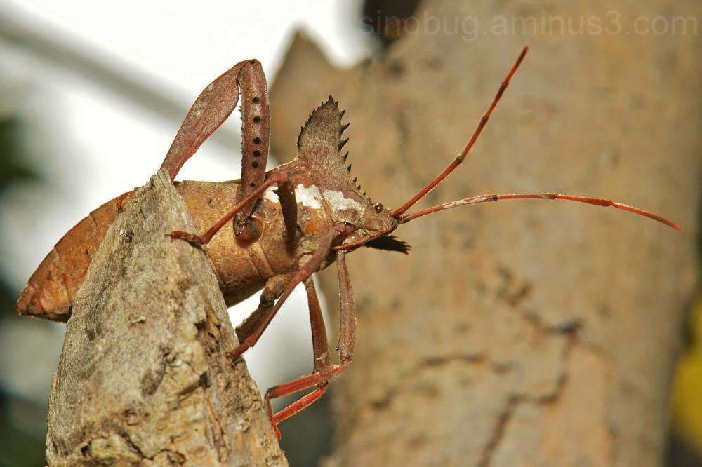 Leaf-Footed Bug Prionolomia gigas Coreidae
