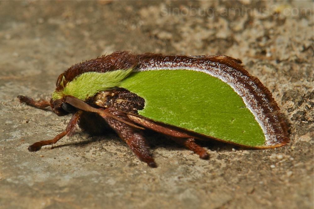 Parasa  Limacodidae cup moth China