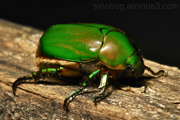 Scarab Beetle Anomala Rutelinae Scarabaeidae