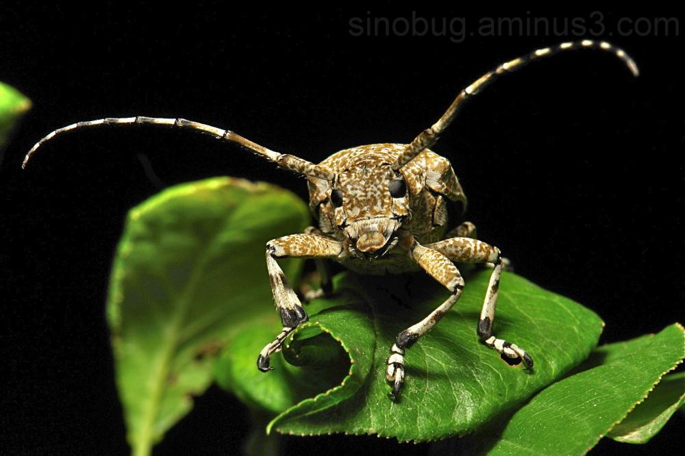 Longhorn Beetle Coptops leucostictica Cerambycidae