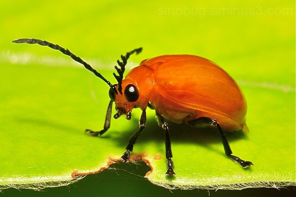 beetle Coleoptera China