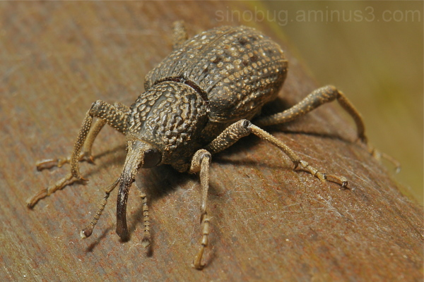 Japanese weevil Sipalinus gigas Curculionidae