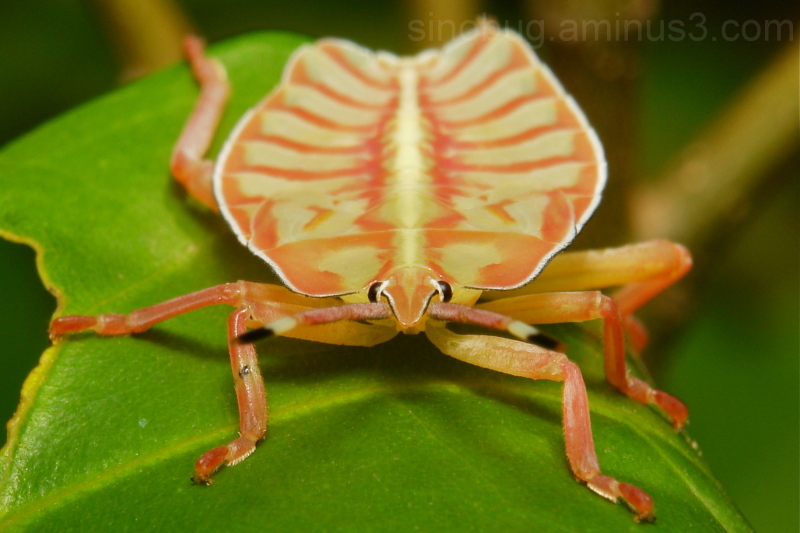 Tessaratomid Shield Bug Nymph Tessaratomidae