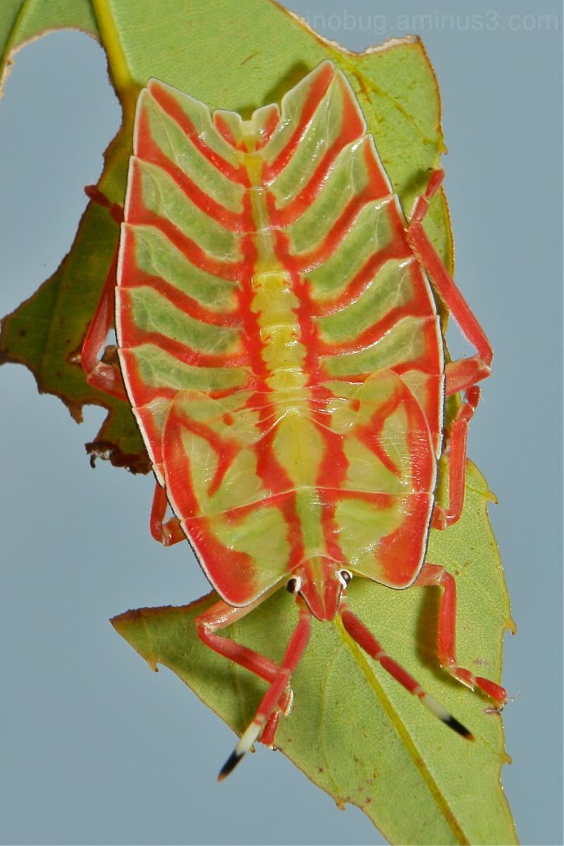Shield Nymph Eusthenes femoralis Tessaratomidae