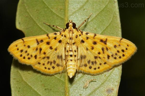 Peach Moth Dichocrocis punctiferalis Crambidae