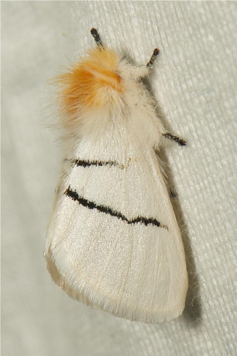 Notodontid Moth Gazalina transversa Notodontidae