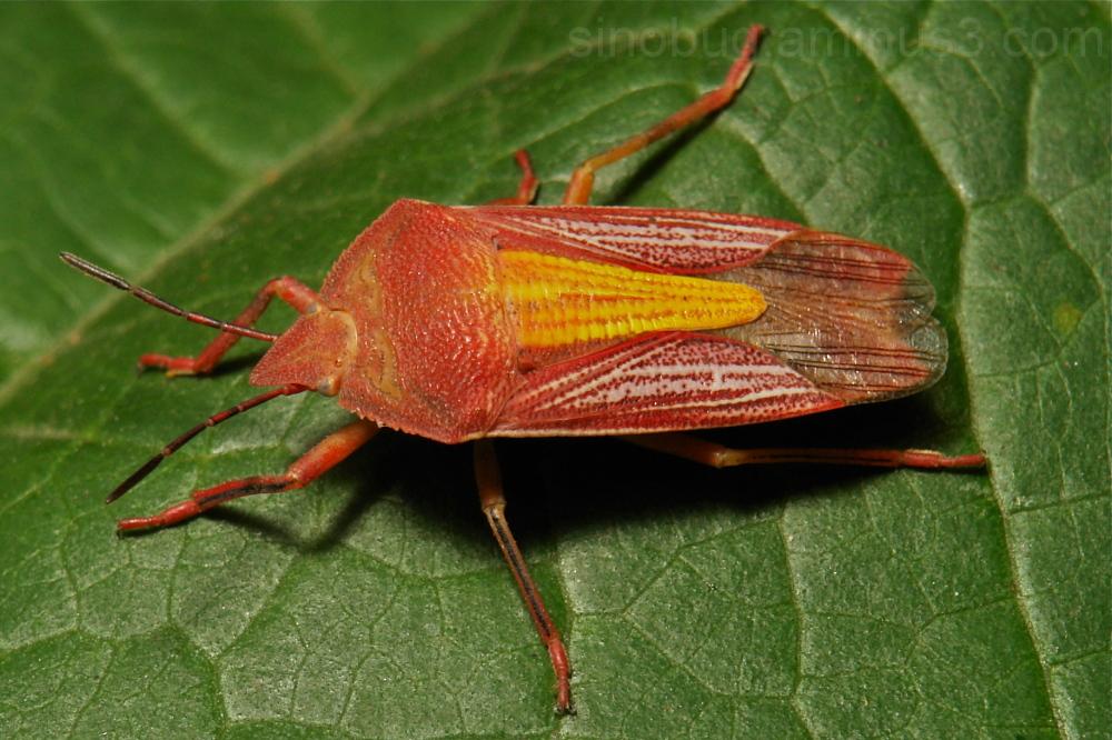 Arrow Bug Megarrhamphus truncates Phyllocephalidae