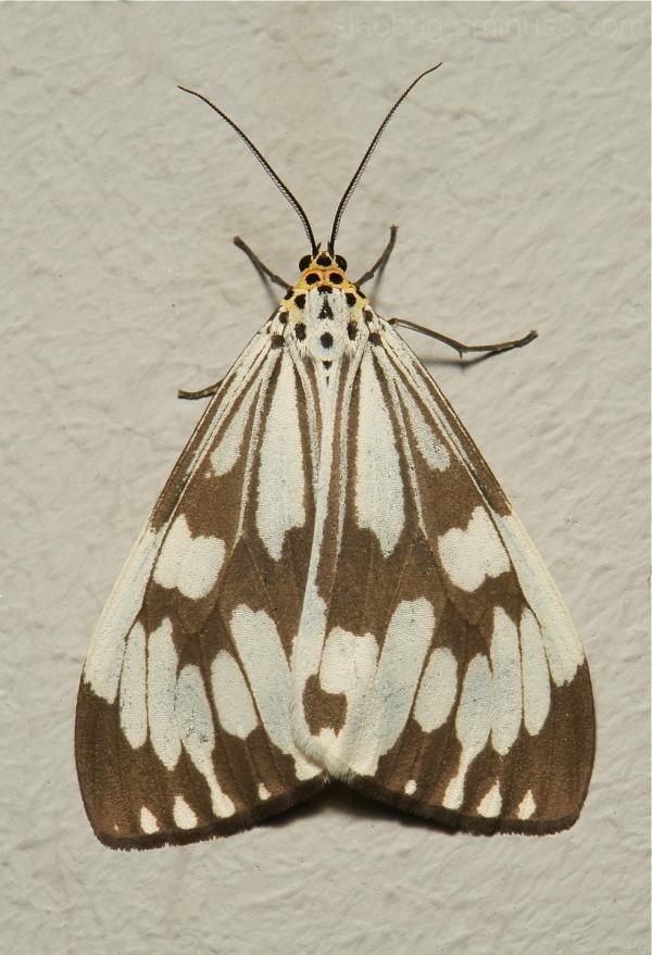 Marbled White Moth Nyctemera adversata Arctiidae