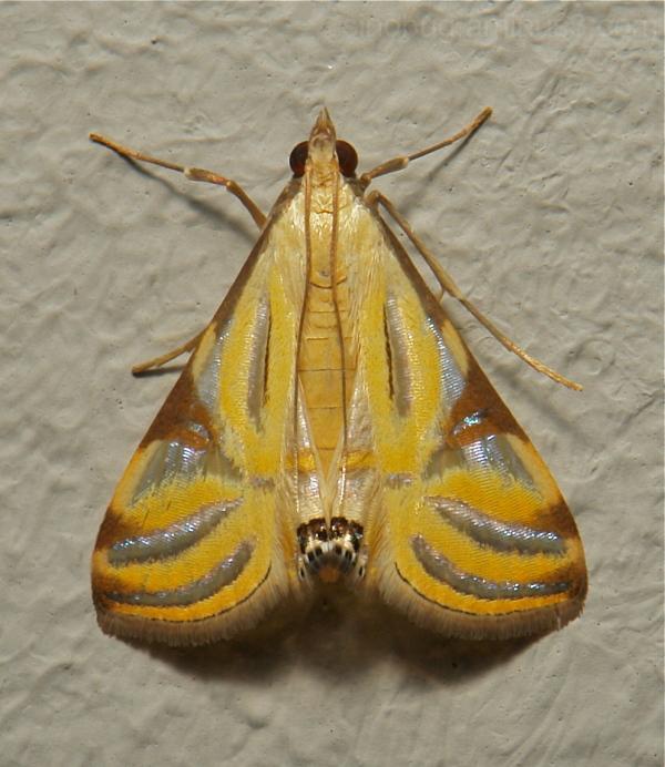Moth Talanga sexpunctalis Crambidae China