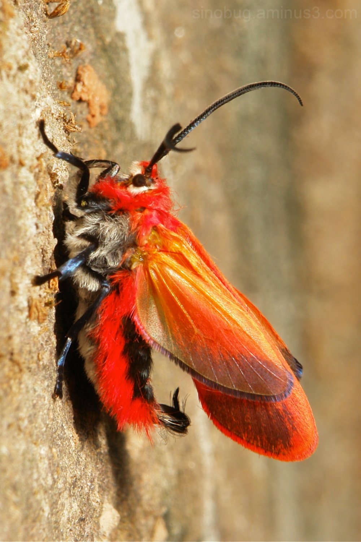 Scarlet Moth Phauda mimica Phaudinae Zygaenidae