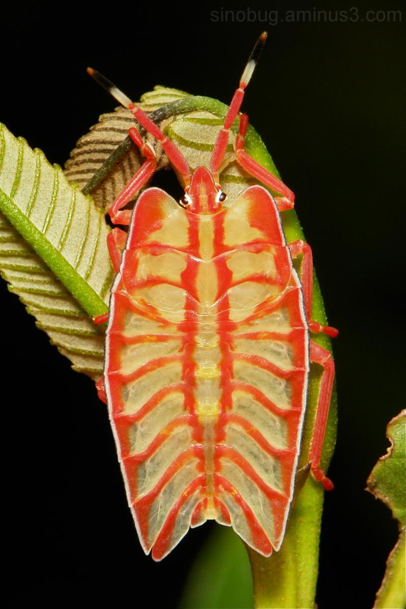 shield bug Nymph Tessaratomidae Hemiptera