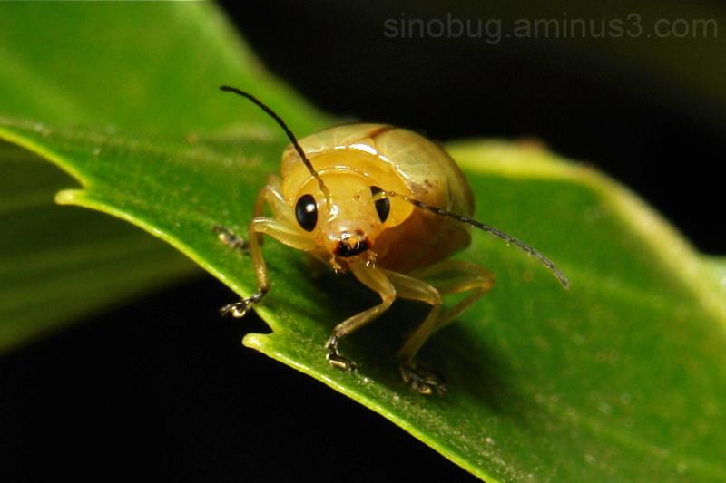 Leaf Beetle Chrysomelidae Yunnan China