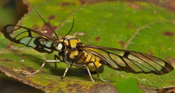 Wasp Moth Amata Arctiinae China Yunnan