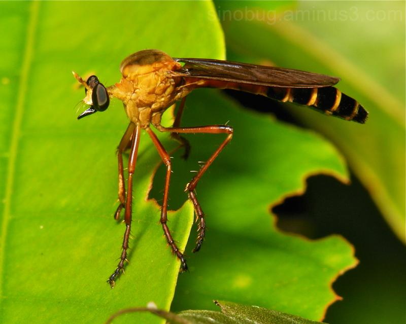 Robber Fly Pegesimallus Asilidae Diptera