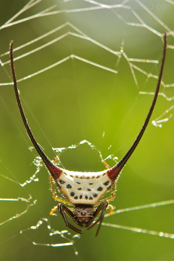 Long-horned Orb-weaver Spider Macracantha arcuata