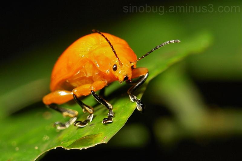 Golden Leaf Beetle Podontia lutea Chrysomelidae