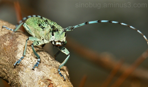 Longhorn Beetle Monochamus guerryi Cerambycidae