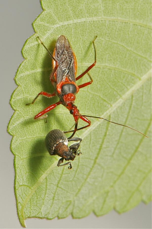 assassin bug Hemiptera Reduviidae China