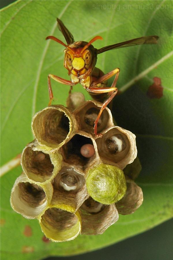 Paper Wasp Polistes Vespidae China