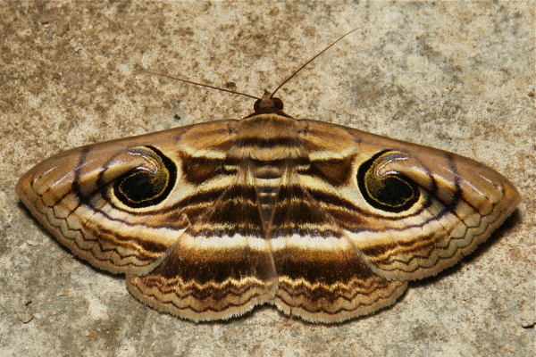 Owlet Moth Spirama retorta Noctuidae China