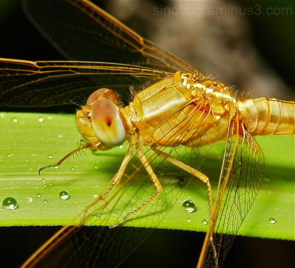 dragonfly Yunnan China