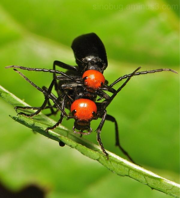 Blister Beetle Epicauta hirticornis Meloidae China