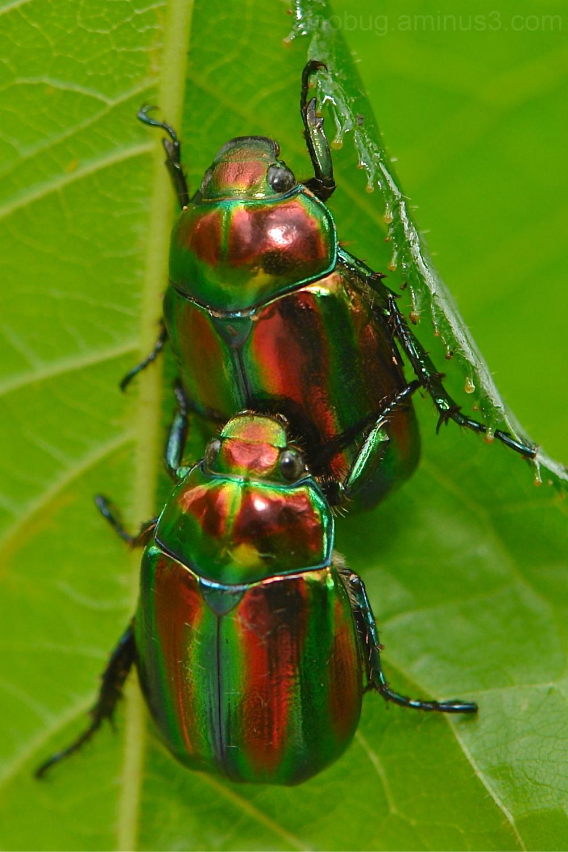 scarab beetle Scarabaeidae China