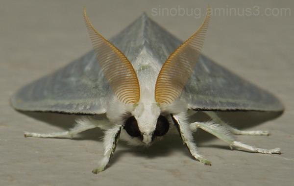 Lymantriid Moth (Leucoma sp., Lymantriidae)