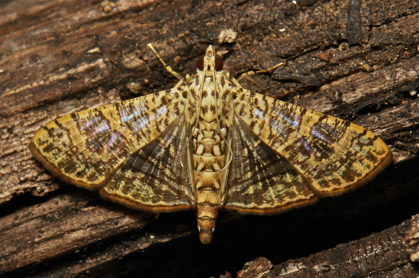 Crambid Moth Glyphodes Crambidae China